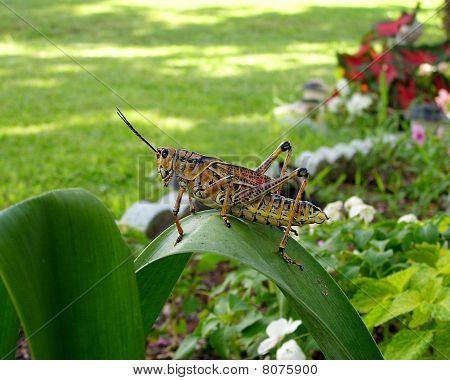 Grasshopper Large Eastern Lubber