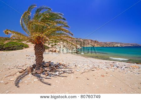 Cretan Date palm tree on idyllic Vai Beach, Greece