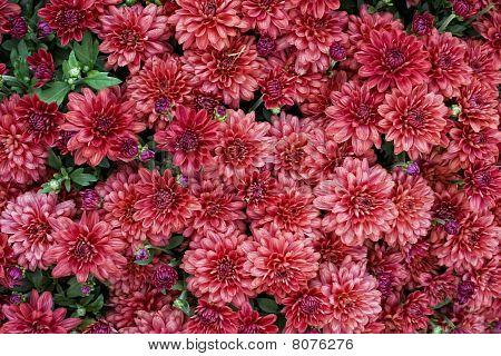Dark Pink Autumn Mums