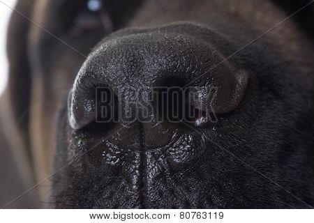 dog nose close up - english mastiff