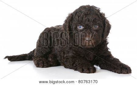 barbet puppy laying down on white backgroun - 5 weeks old