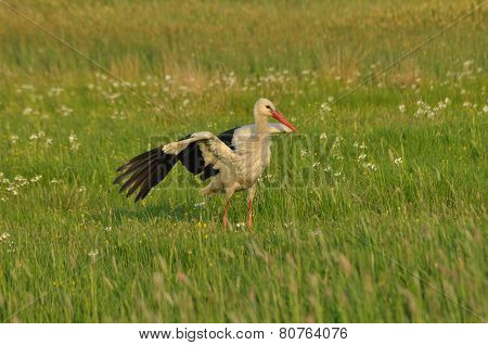 The White Stork Looking For Food In The Meadow. Long Red Legs And Beak. Mowing The Meadows.