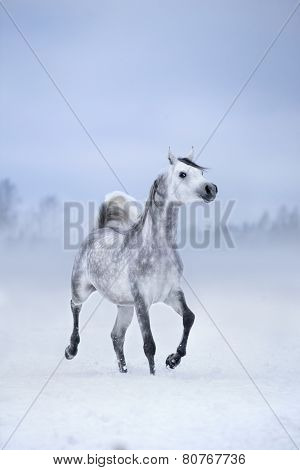 White horse runs on windy winter background, Arabian horse.