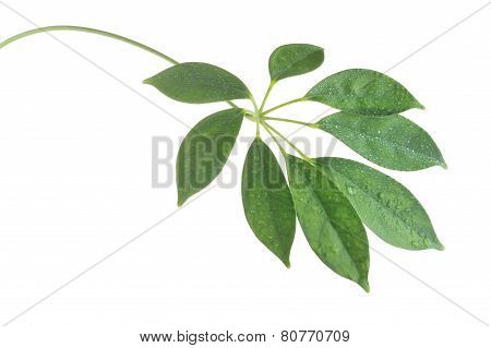 Stem With Leaves