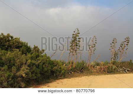 Yucca Plants outside Caesarea Maritima National Park