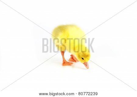 Yellow Fluffy Duckling