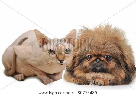 Bald cat And Cuddly Dog