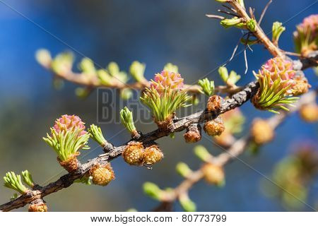 Larch In The Spring Close Up