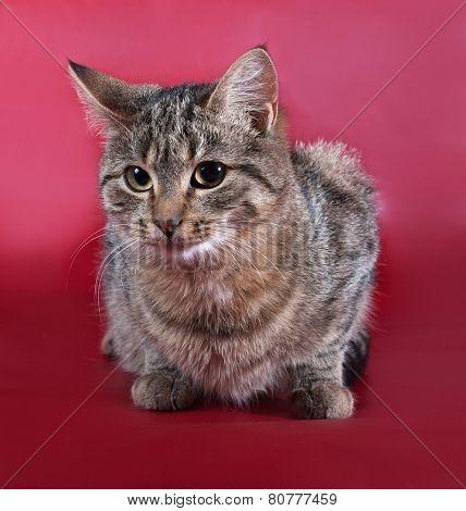 Tabby Cat Lying On Burgundy