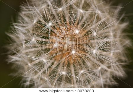 Macro Detail Of A Dandelion Clock