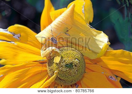 Spider in the heart of a yellow flower, a spider in a rudbeckia flower