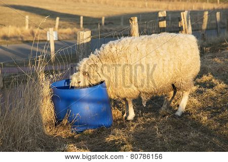 Sheep Drinking From Bucket