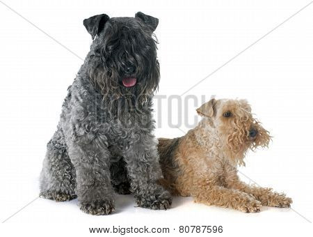 Kerry Blue  And Lakeland Terrier
