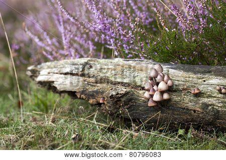 Fungi In Heatland