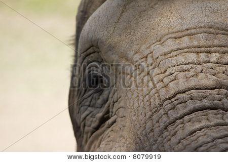 Elephant Upfront