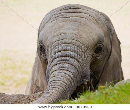 Elephant Infant