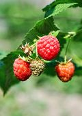 foto of berries  - fresh red and green raspberries in a bush. Growing Organic Berries closeup. Ripe raspberry in the fruit garden ** Note: Shallow depth of field - JPG