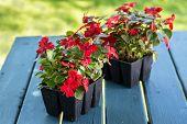 image of grown up  - Greenhouse grown pack containing seedlings of impatiens plants  - JPG