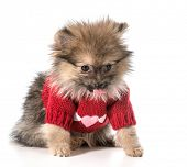 foto of pomeranian  - pomeranian wearing red sweater with hearts - JPG