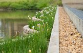 picture of edging  - rain lily planted in bed near pool edge between concrete edge - JPG
