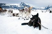 stock photo of sled  - Sled Dogs Take A Rest Break During A Dog Sled Run on a Glacier - JPG