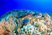 image of green turtle  - Green Turtle on a tropical coral reef - JPG