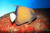 stock photo of angelfish  - Ring Angelfish - JPG