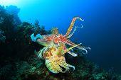 pic of cuttlefish  - Pair Cuttlefish mating - JPG