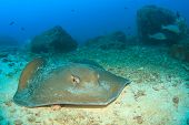 stock photo of stingray  - Stingray  - JPG
