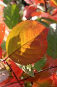 picture of chokeberry  - Autumn - JPG