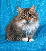 picture of blue tabby  - Fluffy tabby kitten sitting on blue background - JPG