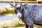 picture of pygmy goat  - Black pygmy goat interacts with visitors in the petting zoo - JPG