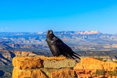 picture of raven  - Common Raven  - JPG