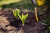 stock photo of shovel  - hyacinth bulbs planted in ground and shovel in spring sunny garden - JPG