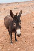 foto of wild donkey  - Brown donkey at field at summer - JPG