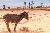 stock photo of wild donkey  - Brown donkey at field at summer. Morocco ** Note: Visible grain at 100%, best at smaller sizes - JPG