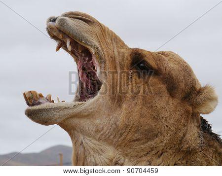A yawning dromedary