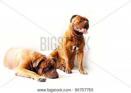 Two Bordeaux mastiff