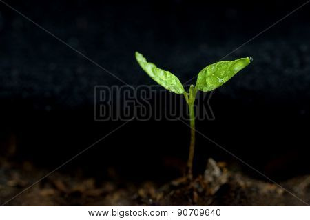 Green sprout growing from ground. Dewy young leaves