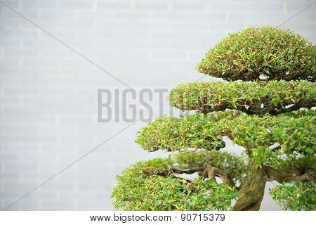 Bonsai Tree With Copy Space