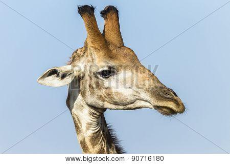 Giraffe Head Wildlife