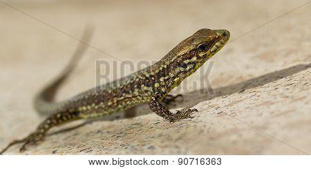 Small  Lizard.
