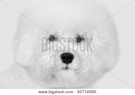 Bichon frise fluffy white dog