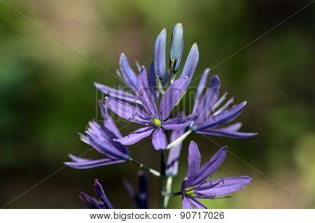 Small Camas Flower