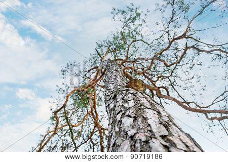 Pine Tree With Tree Mushroom On Blue Sky
