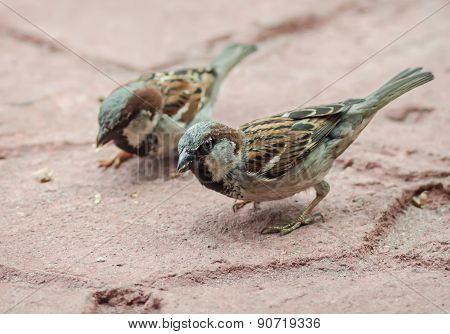 Sparrows Searching Bread Crumbs