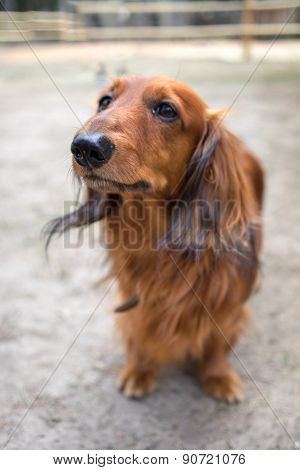 Beautiful Brown Dog Breed Dachshund Standing On A Sidewalk Looking Up