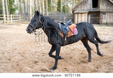 Saddled Black Stallion Racing On A Training Field With A Blurred Person On The Background