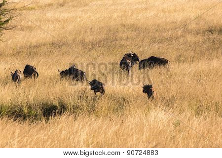 Wildebeest Animals Wildlife