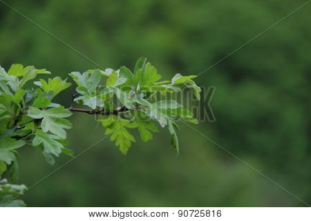Branch Of A Hawthorn With Leaves On A Green Background